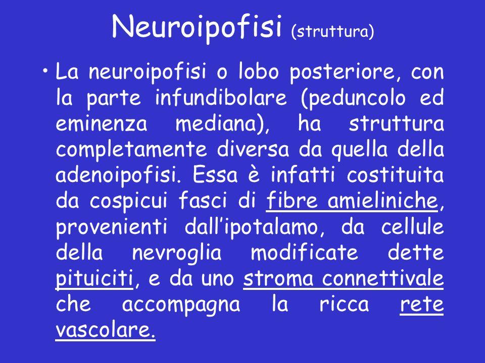 Neuroipofisi (struttura) La neuroipofisi o lobo posteriore, con la parte infundibolare (peduncolo ed eminenza mediana), ha struttura completamente div