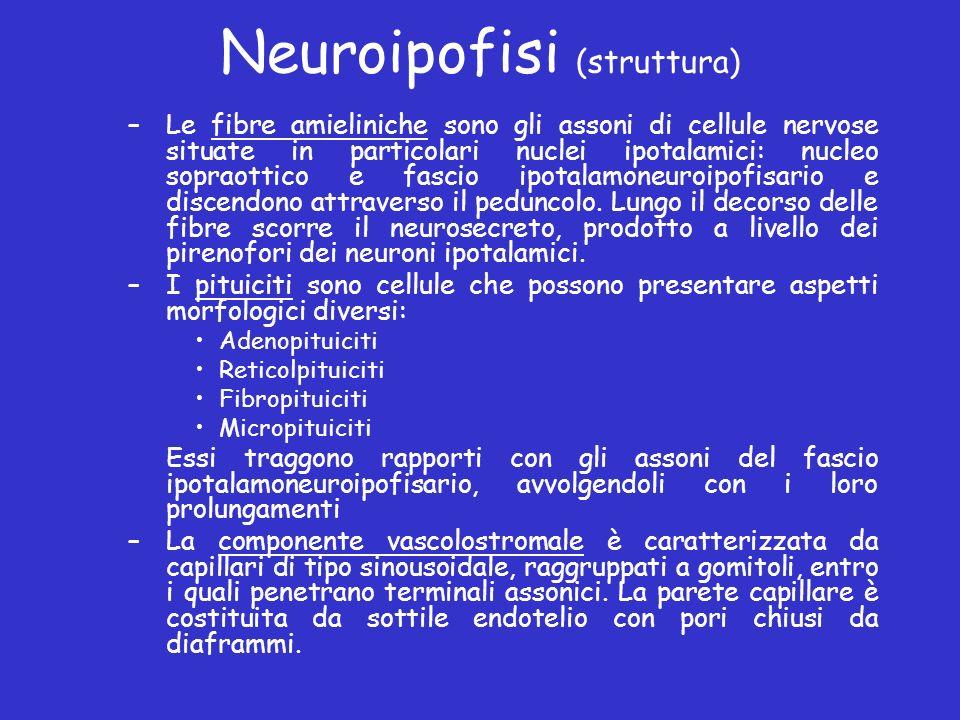 Neuroipofisi (struttura) –Le fibre amieliniche sono gli assoni di cellule nervose situate in particolari nuclei ipotalamici: nucleo sopraottico e fasc