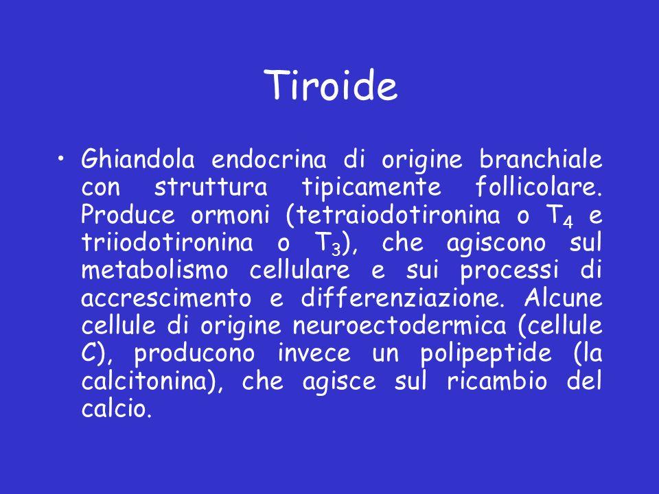 Tiroide Ghiandola endocrina di origine branchiale con struttura tipicamente follicolare. Produce ormoni (tetraiodotironina o T 4 e triiodotironina o T
