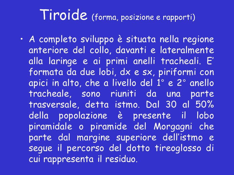 Tiroide (forma, posizione e rapporti) A completo sviluppo è situata nella regione anteriore del collo, davanti e lateralmente alla laringe e ai primi
