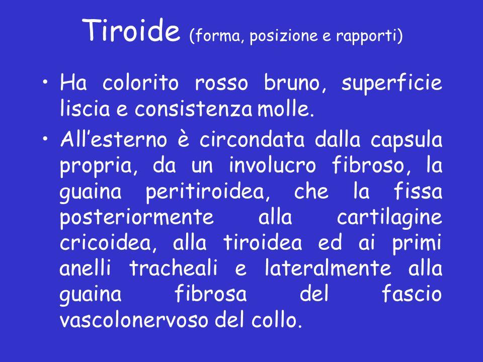 Tiroide (forma, posizione e rapporti) Ha colorito rosso bruno, superficie liscia e consistenza molle. Allesterno è circondata dalla capsula propria, d