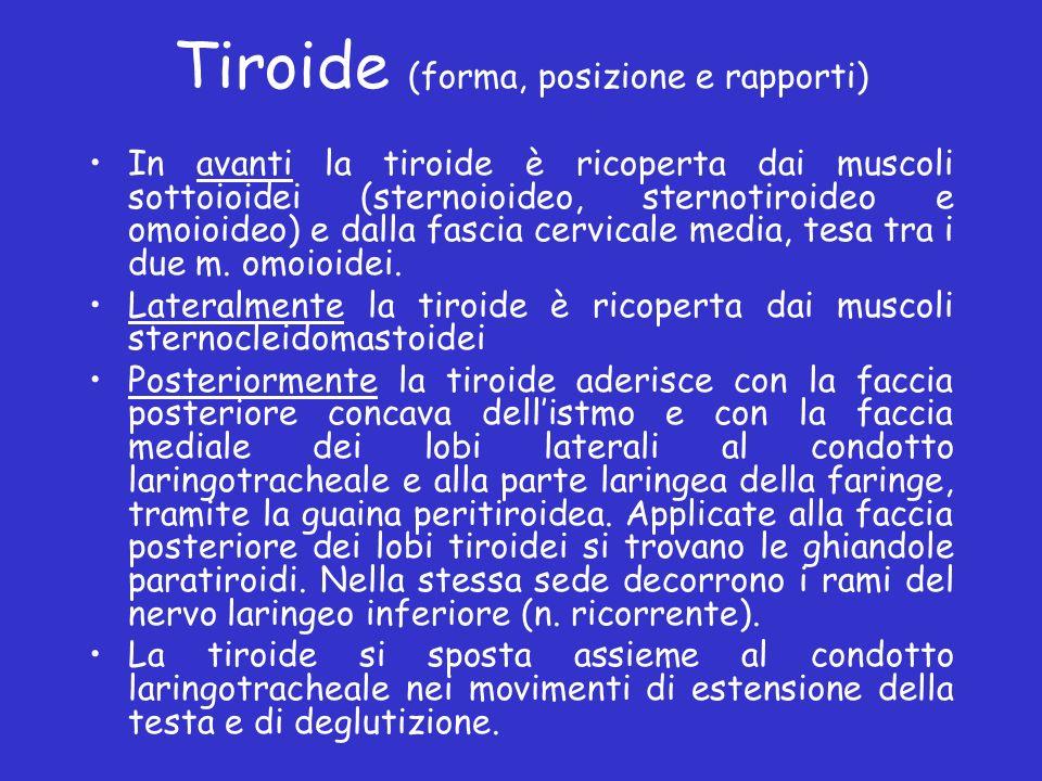 Tiroide (forma, posizione e rapporti) In avanti la tiroide è ricoperta dai muscoli sottoioidei (sternoioideo, sternotiroideo e omoioideo) e dalla fasc