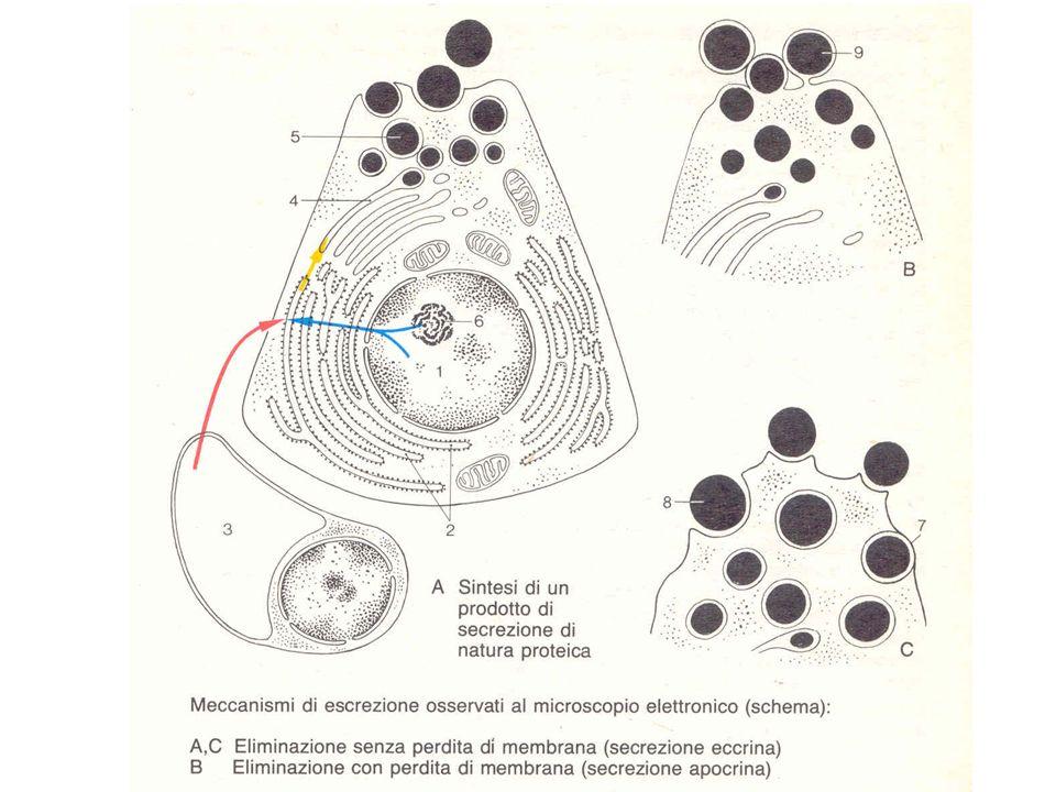 Isolotti pancreatici Detti anche isole di Langerhans, costituiscono la parte endocrina del pancreas e sono piccole formazioni, sparse nel tessuto esocrino dellorgano (ma soprattutto nella coda).