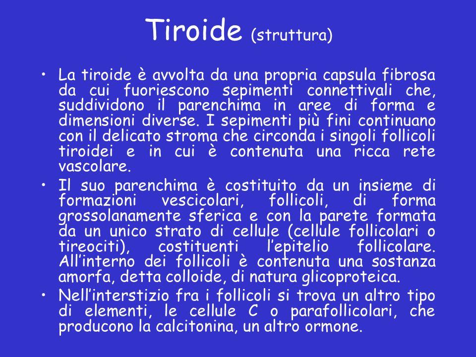 Tiroide (struttura) La tiroide è avvolta da una propria capsula fibrosa da cui fuoriescono sepimenti connettivali che, suddividono il parenchima in ar