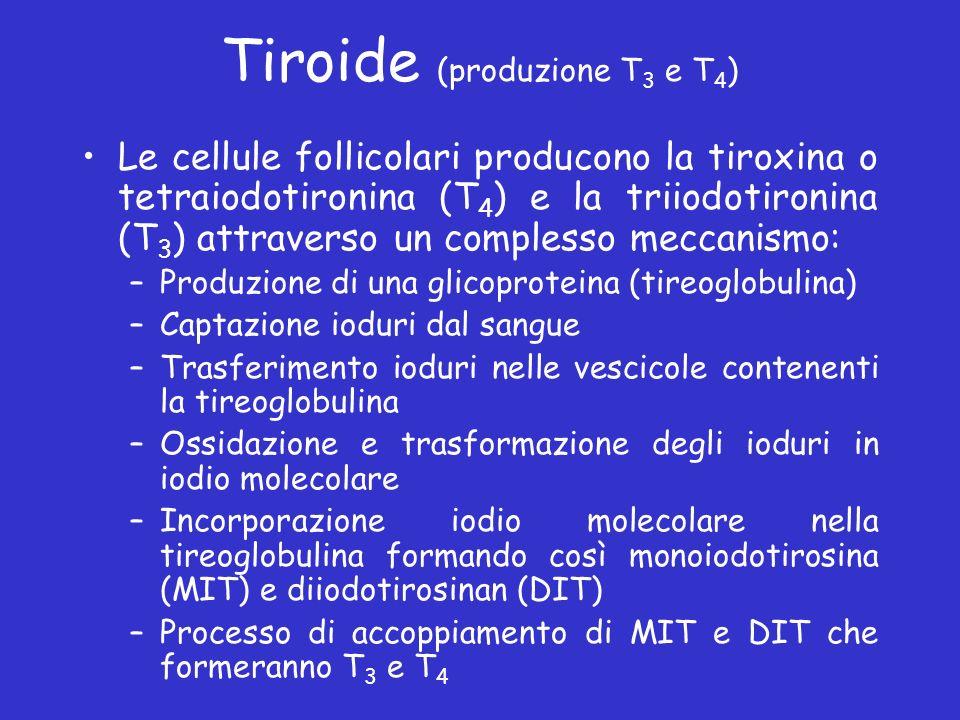Tiroide (produzione T 3 e T 4 ) Le cellule follicolari producono la tiroxina o tetraiodotironina (T 4 ) e la triiodotironina (T 3 ) attraverso un comp