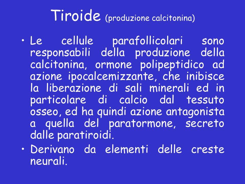 Tiroide (produzione calcitonina) Le cellule parafollicolari sono responsabili della produzione della calcitonina, ormone polipeptidico ad azione ipoca