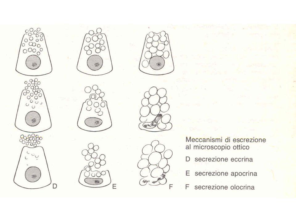 Ghiandole surrenali (struttura) La surrenale è delimitata da una robusta capsula connetivale, ricca di fibre elastiche.