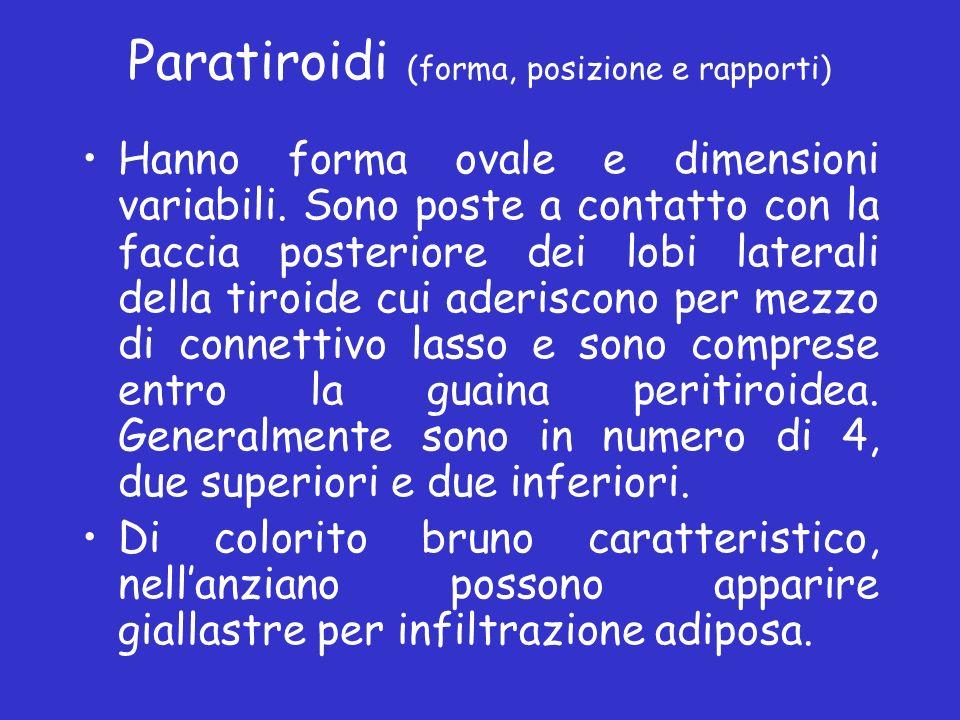 Paratiroidi (forma, posizione e rapporti) Hanno forma ovale e dimensioni variabili. Sono poste a contatto con la faccia posteriore dei lobi laterali d