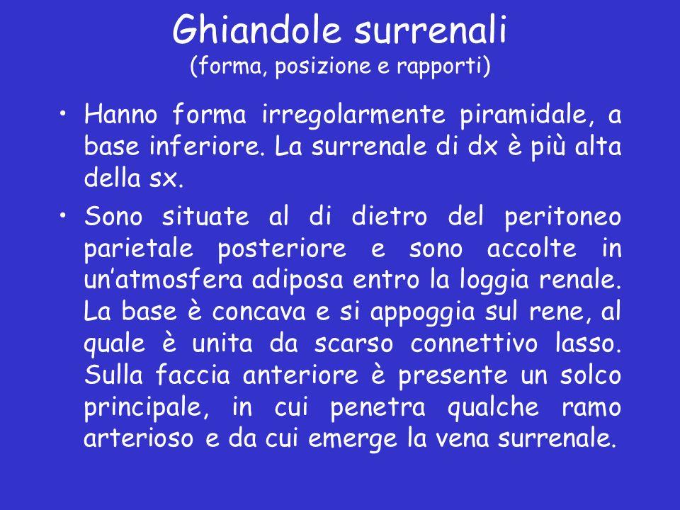 Ghiandole surrenali (forma, posizione e rapporti) Hanno forma irregolarmente piramidale, a base inferiore. La surrenale di dx è più alta della sx. Son