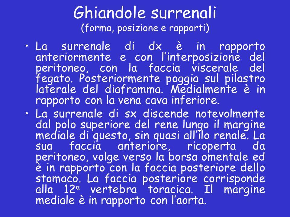 Ghiandole surrenali (forma, posizione e rapporti) La surrenale di dx è in rapporto anteriormente e con linterposizione del peritoneo, con la faccia vi