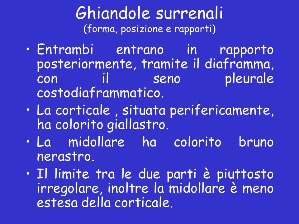 Ghiandole surrenali (forma, posizione e rapporti) Entrambi entrano in rapporto posteriormente, tramite il diaframma, con il seno pleurale costodiafram