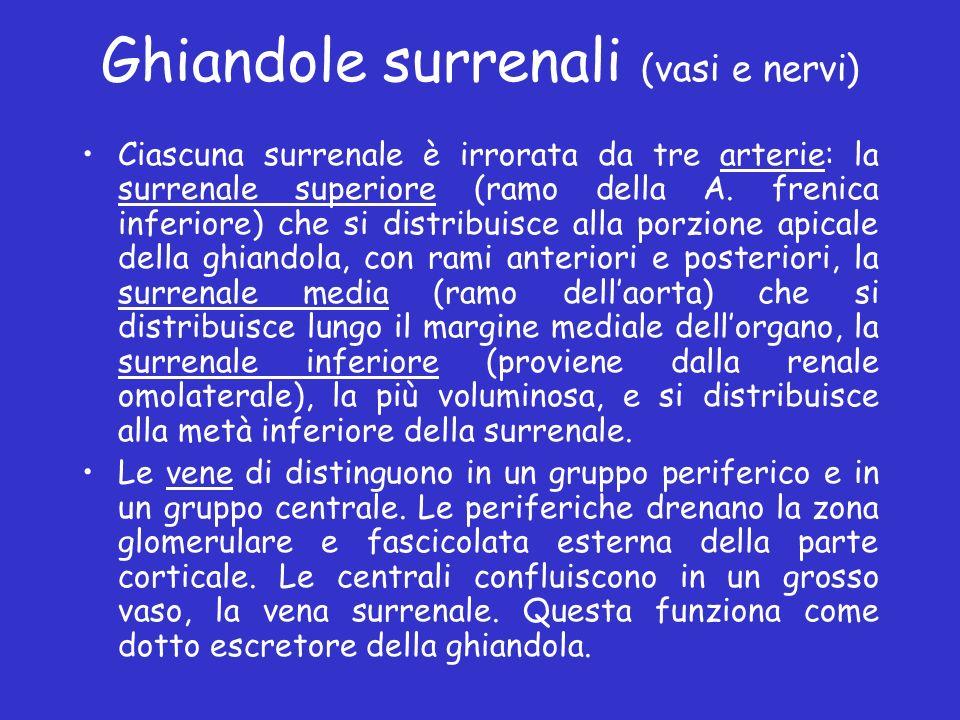 Ghiandole surrenali (vasi e nervi) Ciascuna surrenale è irrorata da tre arterie: la surrenale superiore (ramo della A. frenica inferiore) che si distr