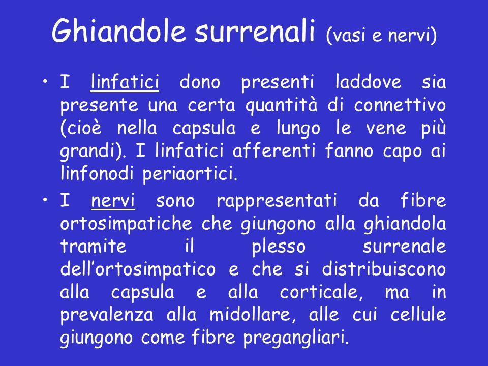Ghiandole surrenali (vasi e nervi) I linfatici dono presenti laddove sia presente una certa quantità di connettivo (cioè nella capsula e lungo le vene