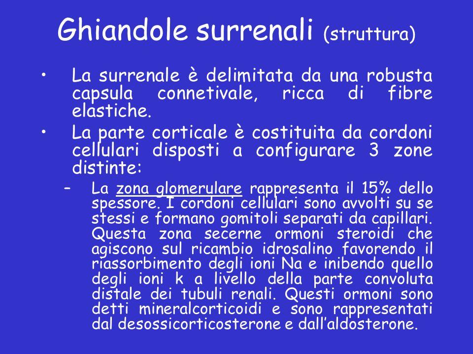 Ghiandole surrenali (struttura) La surrenale è delimitata da una robusta capsula connetivale, ricca di fibre elastiche. La parte corticale è costituit