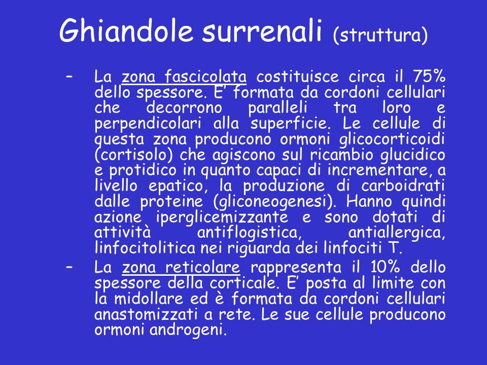 Ghiandole surrenali (struttura) –La zona fascicolata costituisce circa il 75% dello spessore. E formata da cordoni cellulari che decorrono paralleli t