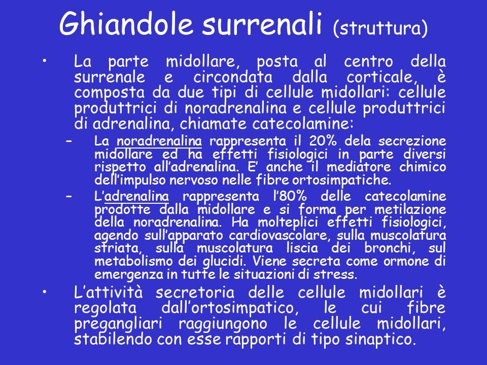 Ghiandole surrenali (struttura) La parte midollare, posta al centro della surrenale e circondata dalla corticale, è composta da due tipi di cellule mi