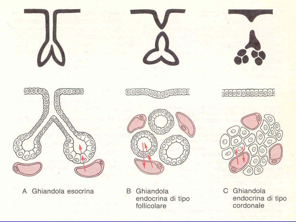 Paratiroidi Piccoli organi endocrini di origine branchiale, il cui secreto regola, assieme alla calcitonina prodotta dalla tiroide, il ricambio del calcio e del fosforo.