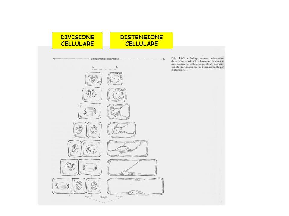 DISTENSIONE CELLULARE DIVISIONE CELLULARE