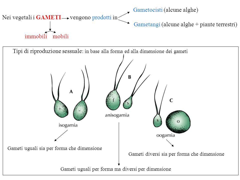 Tipi di riproduzione sessuale : in base alla forma ed alla dimensione dei gameti Gameti uguali sia per forma che dimensione Gameti diversi sia per for