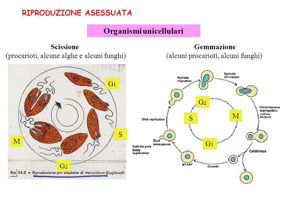 RIPRODUZIONE ASESSUATA Organismi unicellulari Scissione (procarioti, alcune alghe e alcuni funghi) Gemmazione (alcuni procarioti, alcuni funghi) G1G1