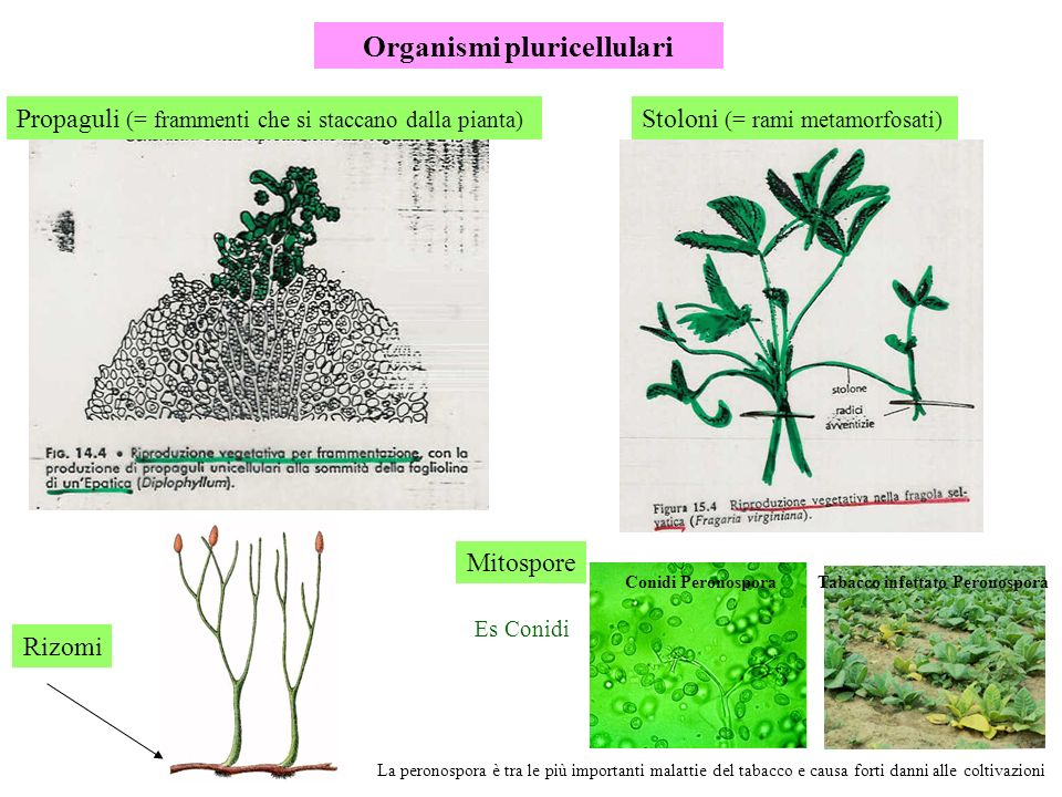 Organismi pluricellulari Propaguli (= frammenti che si staccano dalla pianta) Stoloni (= rami metamorfosati) Rizomi La peronospora è tra le più import