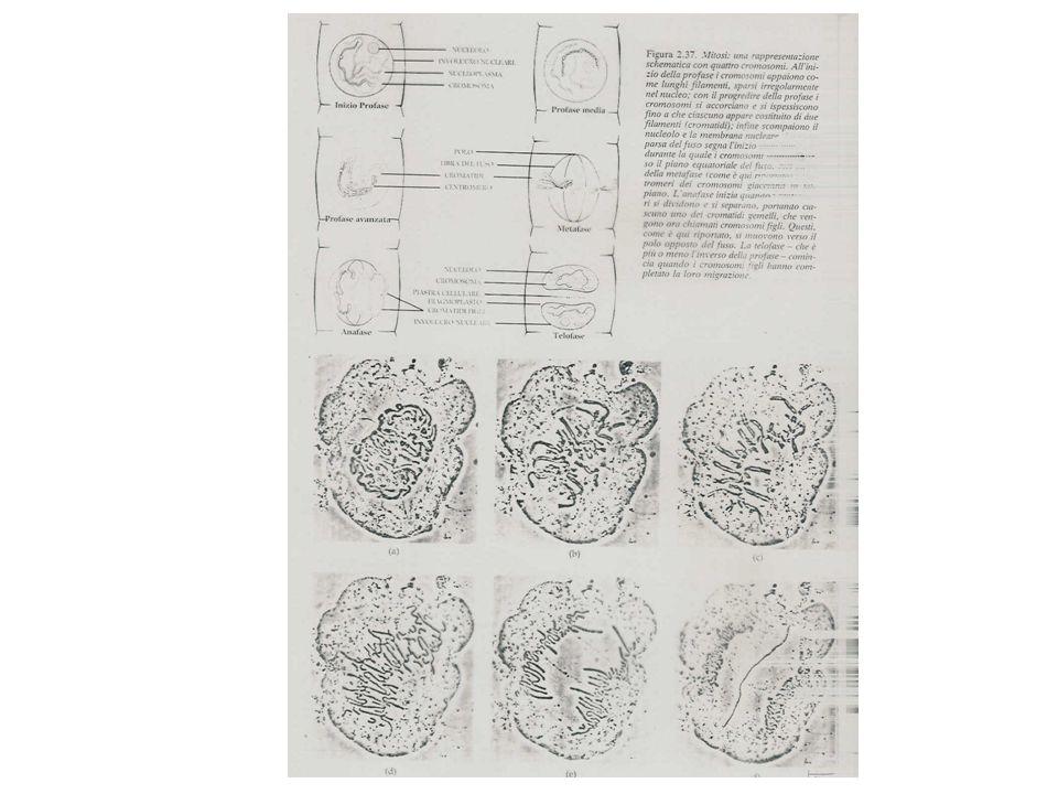 Alga adulta (n) gamete maschile gamete femminile zigote Esempio di ciclo aplonte Esempio di ciclo diplonte Alga adulta (2n) MEIOSI Sporofito Gametofito gamete maschile gamete femminile zigote