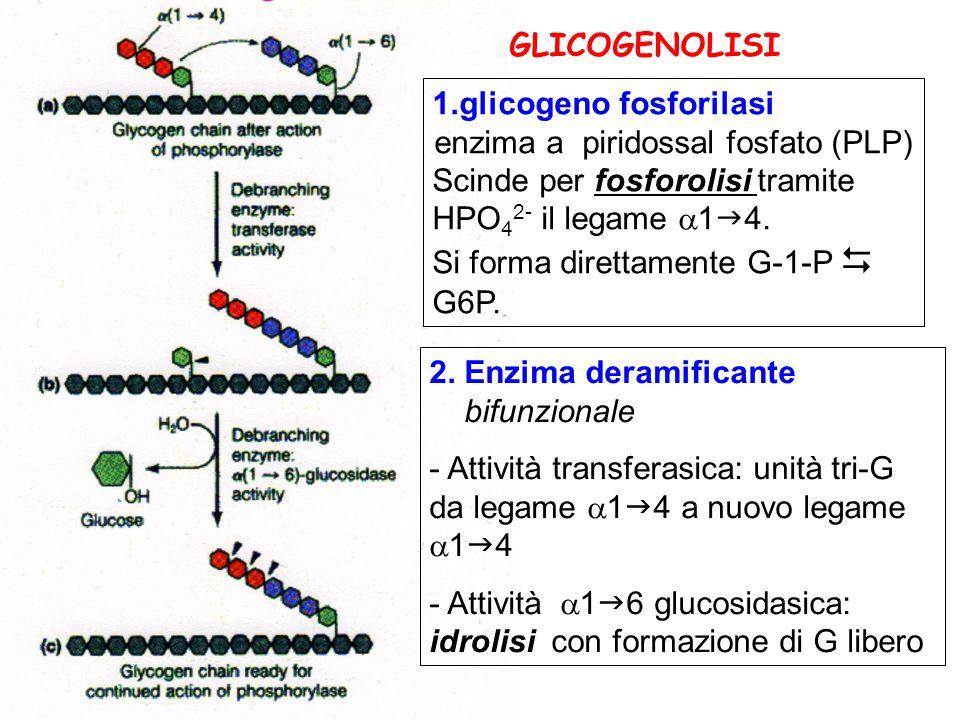 1.glicogeno fosforilasi enzima a piridossal fosfato (PLP) Scinde per fosforolisi tramite HPO 4 2- il legame 1 4. Si forma direttamente G-1-P G6P. 2. E