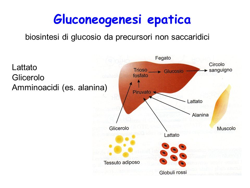 Gluconeogenesi epatica biosintesi di glucosio da precursori non saccaridici Lattato Glicerolo Amminoacidi (es. alanina)