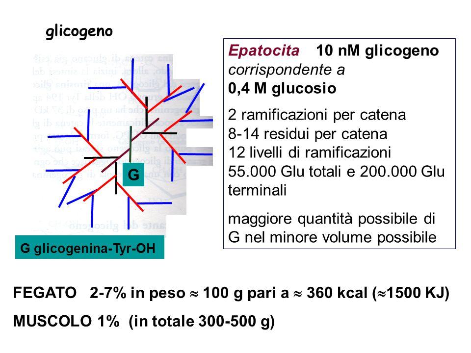 2 vie diverse per la sintesi e la lisi per motivi termodinamici Glicogenosintesi (endoergonica): Consumo di una molecole di ATP ed una di UTP partendo da G libero (consumo di una molecola di UTP partendo da G6P) Glicogenolisi (esoergonica) Dalla scissione - tramite fosfato inorganico - si ottiene direttamente G6P.