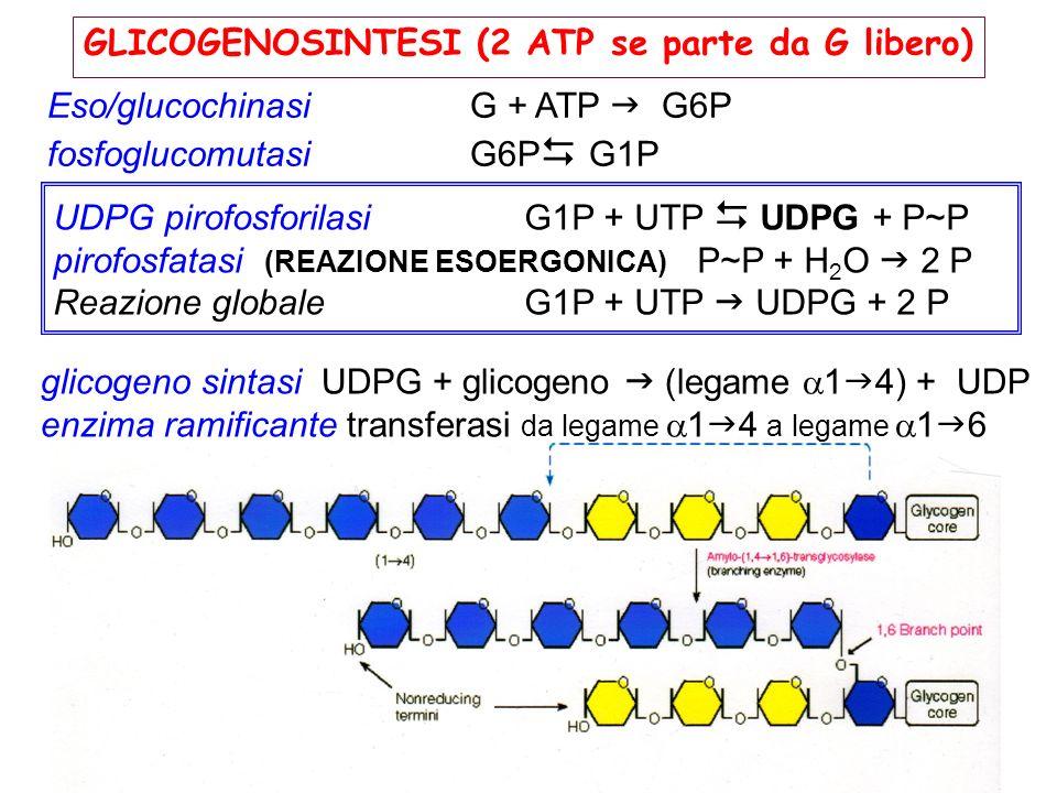 GLICOGENOSINTESI (2 ATP se parte da G libero) Eso/glucochinasi G + ATP G6P fosfoglucomutasiG6P G1P glicogeno sintasi UDPG + glicogeno (legame 1 4) + U