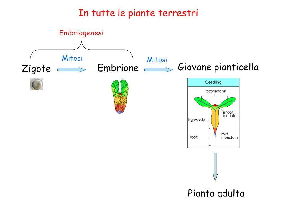 Nelle Spermatofite Embrione nel SEME SEME struttura costituita da: Embrione Sostanze di riserva (endosperma e/o cotiledoni) Tegumenti protettivi