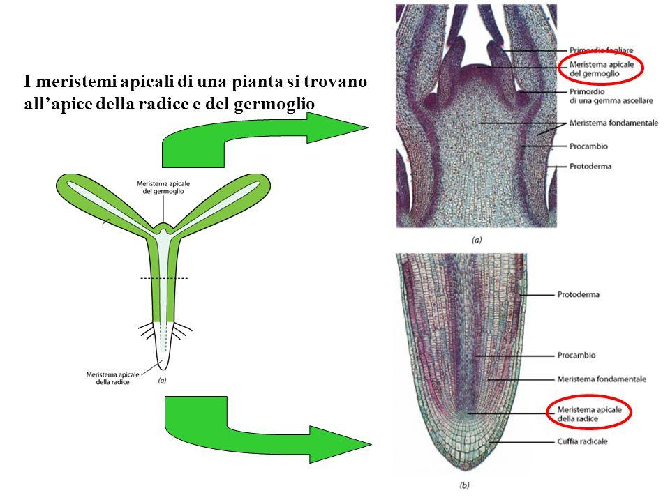Germoglio Radice In queste zone le cellule si duplicano continuamente producendo sia nuove cellule meristematiche sia cellule che si differenziano in tessuti primari.
