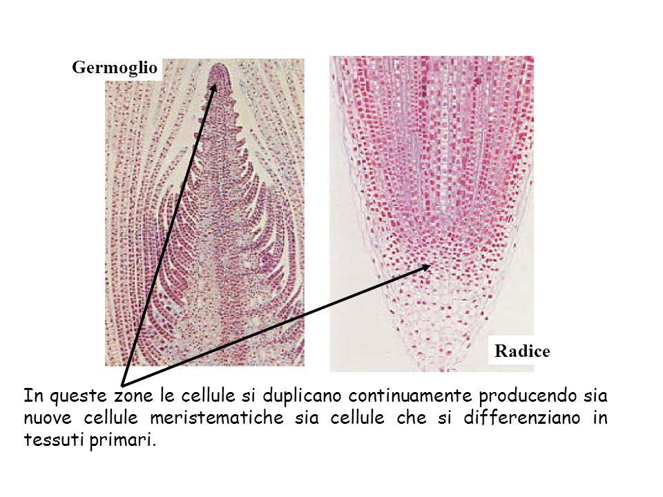 RADICE Organo della pianta che si sviluppa per primo dopo la germinazione del seme.