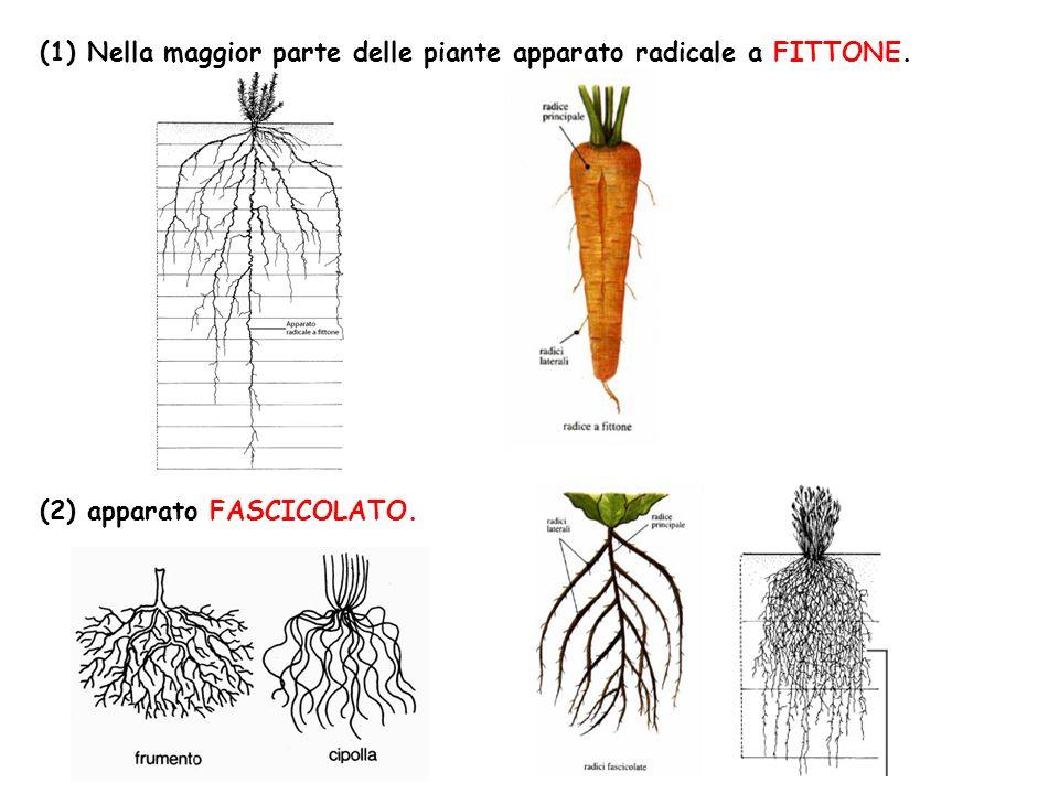 (1) Nella maggior parte delle piante apparato radicale a FITTONE. (2) apparato FASCICOLATO.