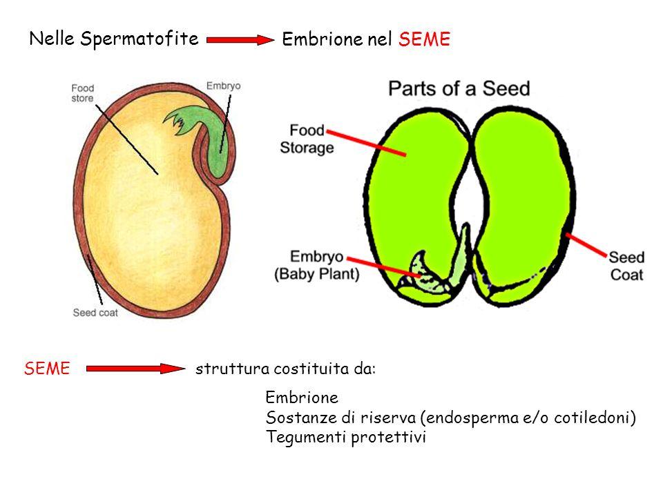 Come è fatto un embrione.