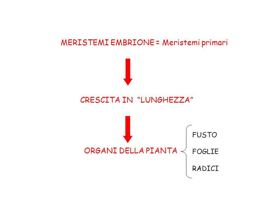 Piumetta Una o più foglioline embrionale = cotiledoni radichetta ipocotile ASSE EMBRIONE: organizzazione concentrica dei tessuti che formeranno gli organi Tessuto fondamentale Procambio Protoderma