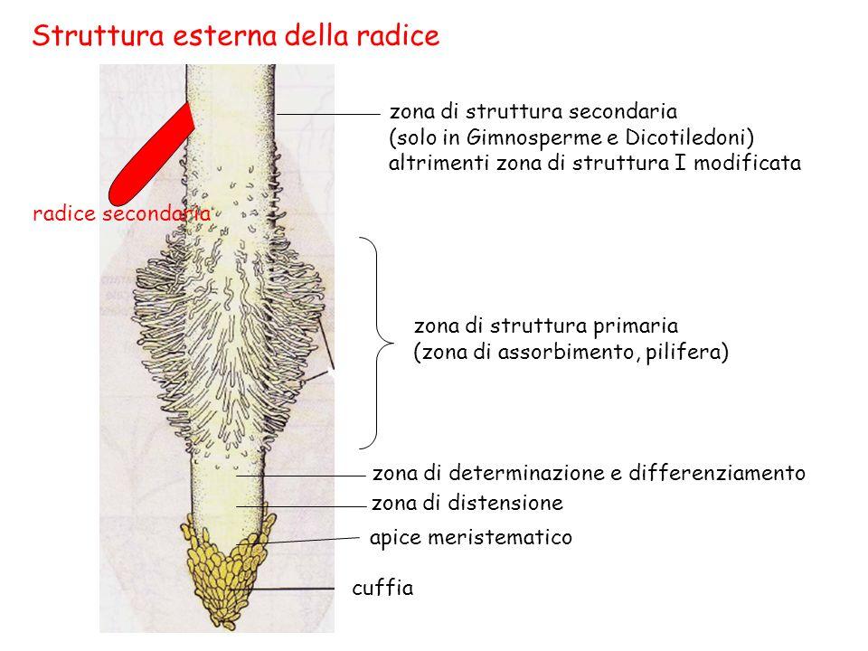 Radice di ranuncolo In Gimnosperme e Dicotiledoni manca il midollo + poche arche legnose (2-6) saldate fra loro al centro.