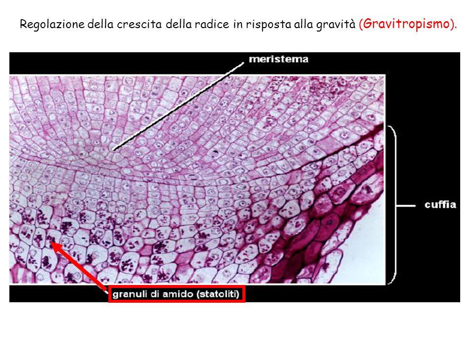 Regolazione della crescita della radice in risposta alla gravità ( Gravitropismo ).