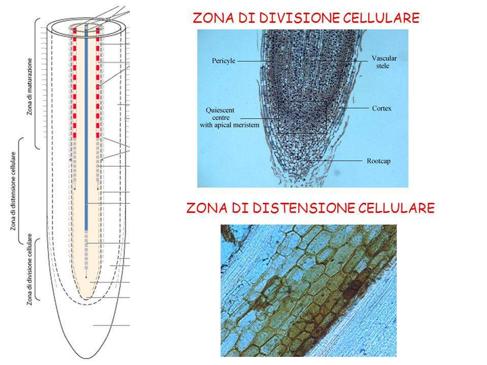 ZONA DI DIVISIONE CELLULARE ZONA DI DISTENSIONE CELLULARE
