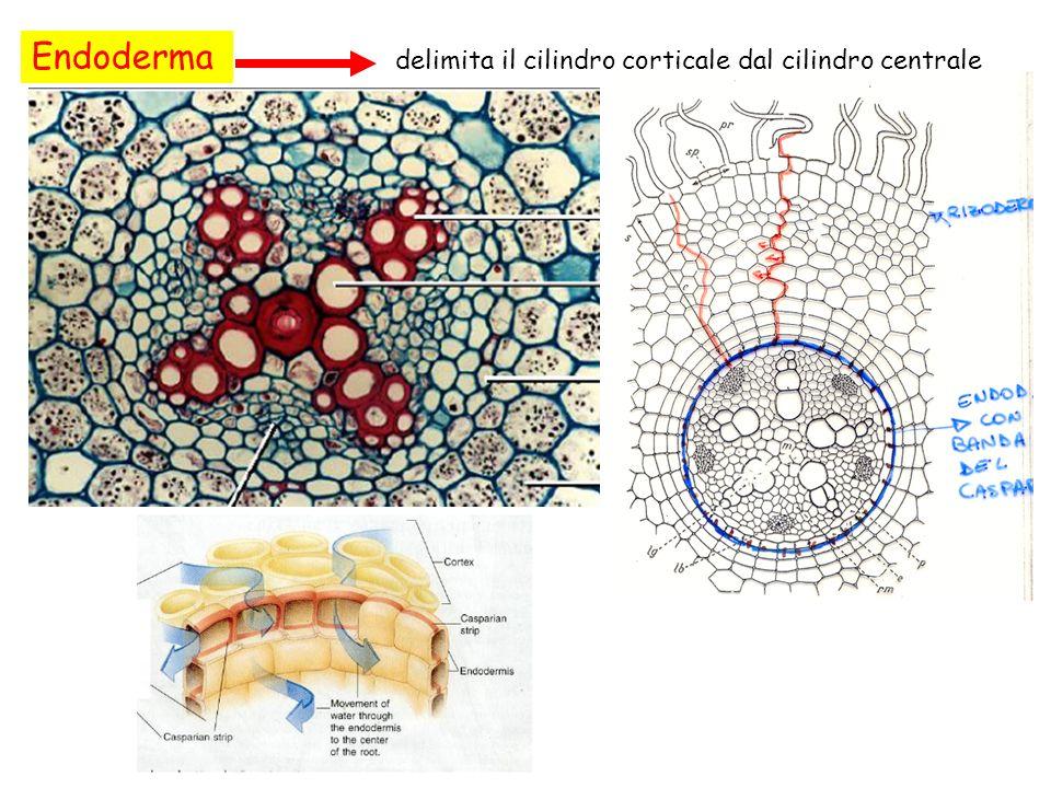 Endoderma delimita il cilindro corticale dal cilindro centrale