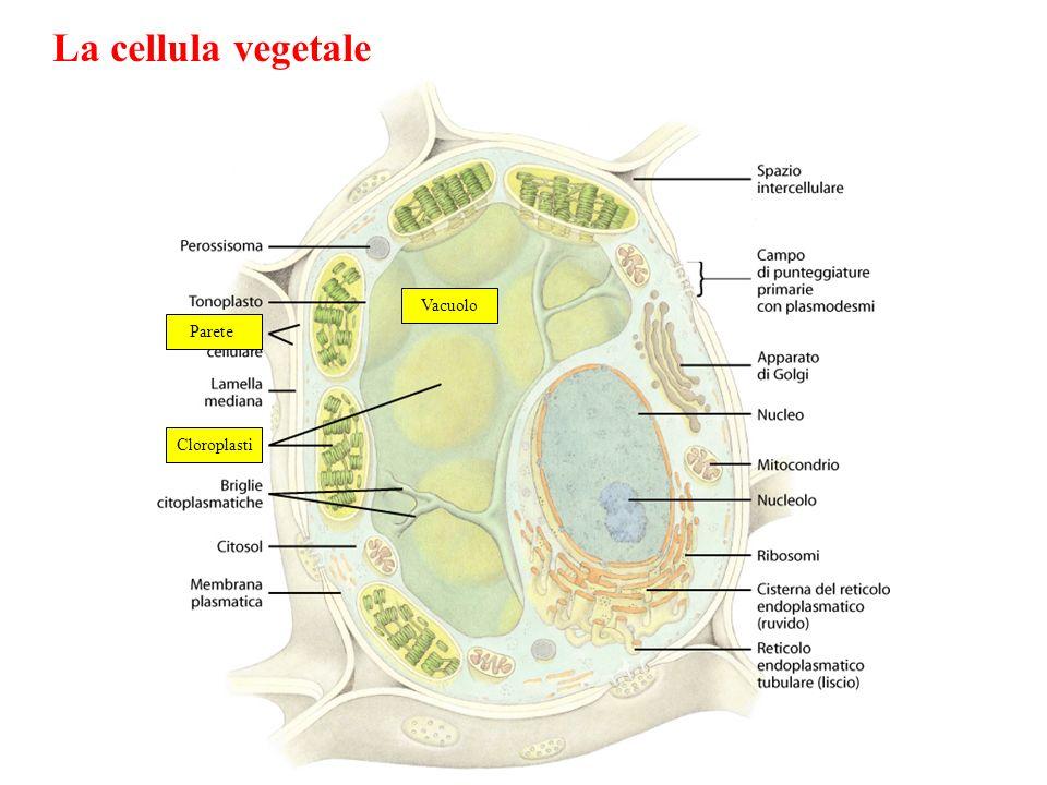 La cellula vegetale Cloroplasti Parete Vacuolo