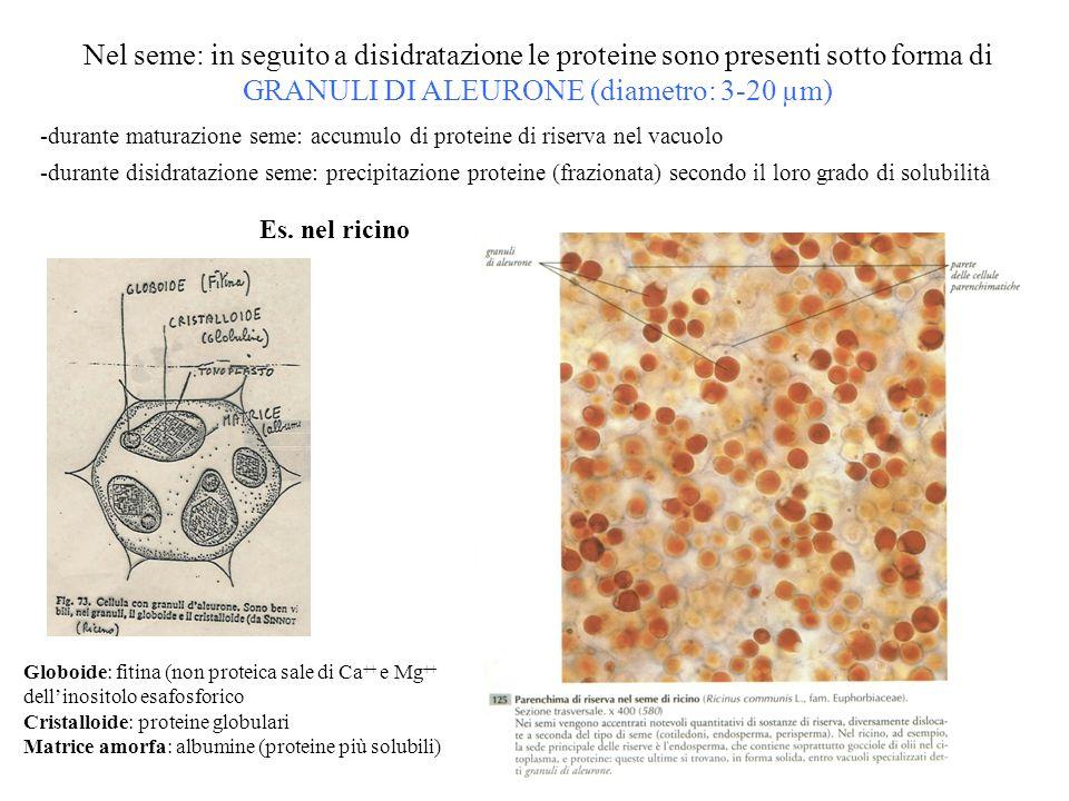 Nel seme: in seguito a disidratazione le proteine sono presenti sotto forma di GRANULI DI ALEURONE (diametro: 3-20 µm) -durante maturazione seme: accu