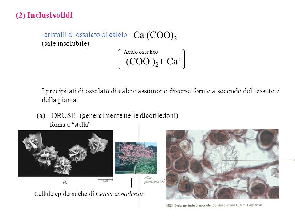 (2) Inclusi solidi -cristalli di ossalato di calcio (sale insolubile) Ca (COO) 2 Acido ossalico (COO - ) 2 + Ca ++ I precipitati di ossalato di calcio