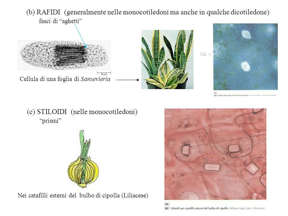 (b) RAFIDI (generalmente nelle monocotiledoni ma anche in qualche dicotiledone) fasci di aghetti Cellula di una foglia di Sansevieria (c) STILOIDI (ne