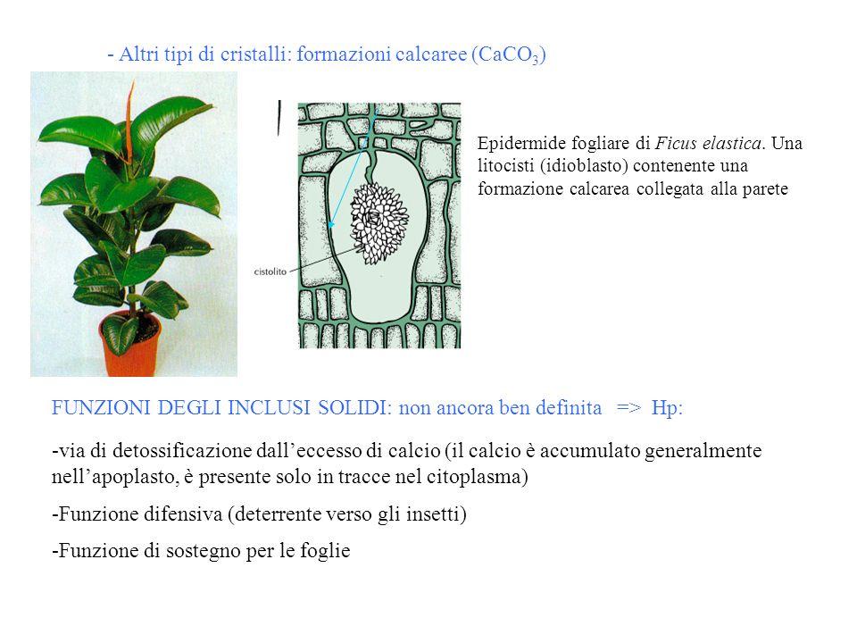- Altri tipi di cristalli: formazioni calcaree (CaCO 3 ) Epidermide fogliare di Ficus elastica. Una litocisti (idioblasto) contenente una formazione c