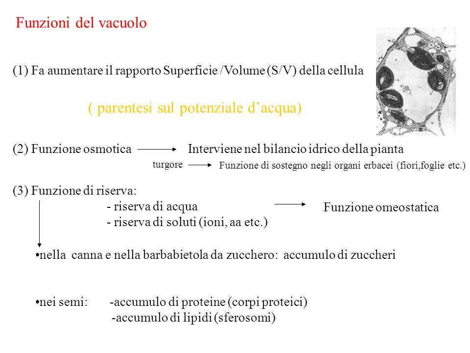 Funzioni del vacuolo (1) Fa aumentare il rapporto Superficie /Volume (S/V) della cellula (2) Funzione osmoticaInterviene nel bilancio idrico della pia