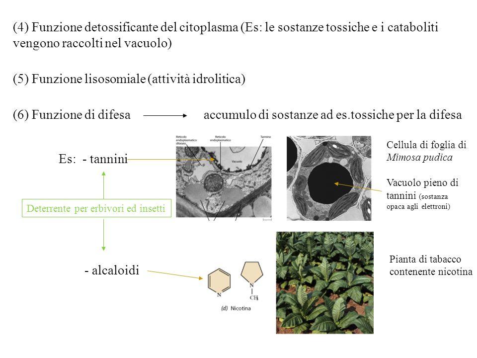 (4) Funzione detossificante del citoplasma (Es: le sostanze tossiche e i cataboliti vengono raccolti nel vacuolo) (5) Funzione lisosomiale (attività i