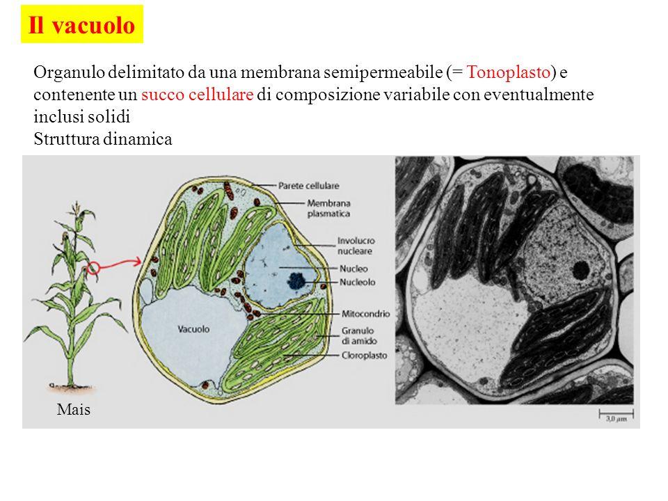 Il vacuolo Mais Organulo delimitato da una membrana semipermeabile (= Tonoplasto) e contenente un succo cellulare di composizione variabile con eventu