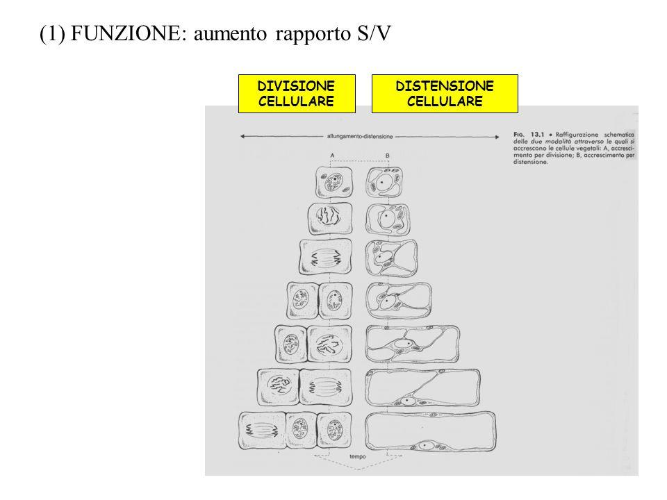 DISTENSIONE CELLULARE DIVISIONE CELLULARE (1) FUNZIONE: aumento rapporto S/V