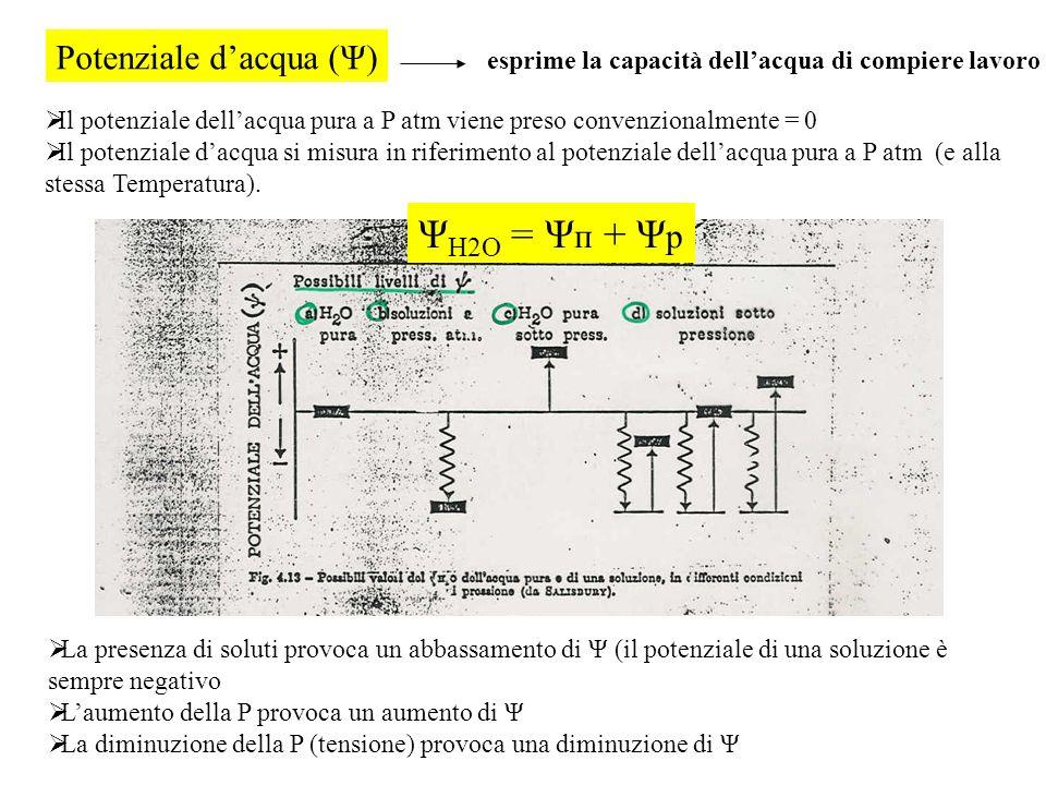 Potenziale dacqua (Ψ) esprime la capacità dellacqua di compiere lavoro Il potenziale dellacqua pura a P atm viene preso convenzionalmente = 0 Il poten